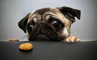 Лучшая порода собак для квартиры