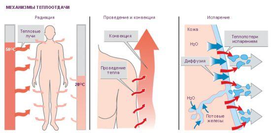 Теплообмен в организме