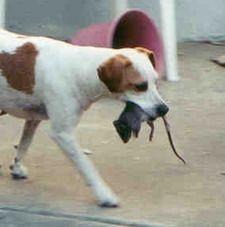 Собака поймала крысу