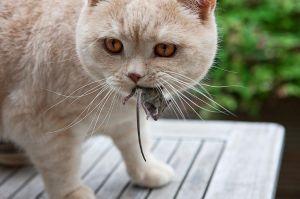 Кот с пойманной добычей