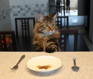 Чем кормить мейн куна