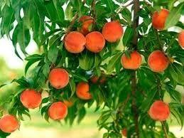 Правила обрезки персиковых деревьев