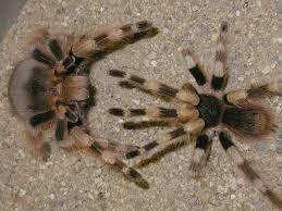 Размножение пауков в домашних условиях