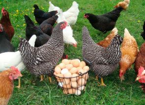 Что нужно сделать, чтобы куры несли больше яиц?