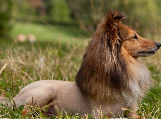 Нужно ли подстригать собаку?