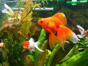 Как правильно содержать золотых рыбок в аквариуме