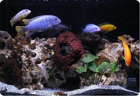 Содержание африканских озёрных цихлид в аквариуме
