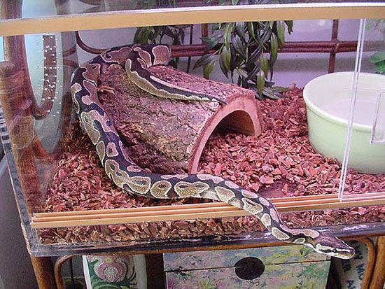 Какую змею завести дома?