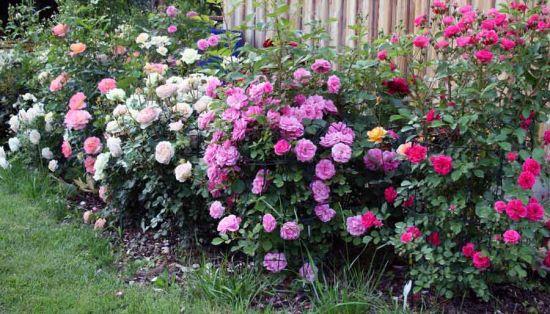 Дикорастущие розы