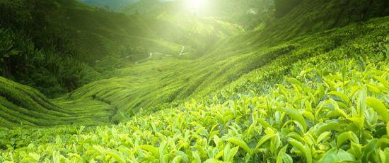 Как выращивается гималайский чай