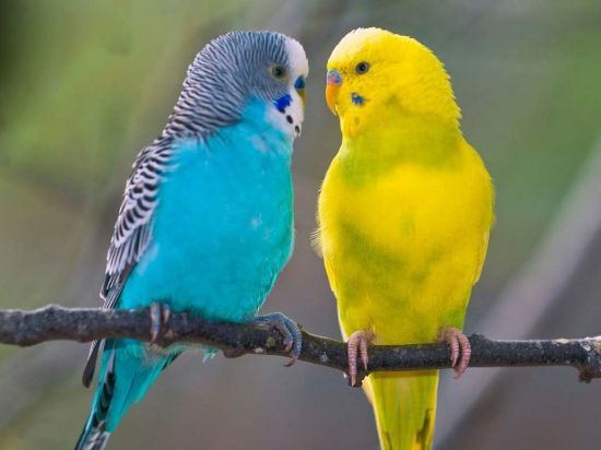 Выбираем волнистого попугайчика