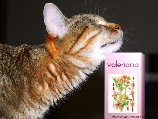 Как валерьянка действует на котов