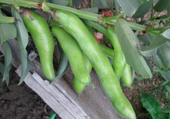 Выращиваем бобы