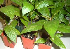 Растение Кратом