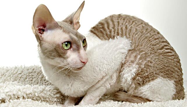Кошки породы Корниш Рекс