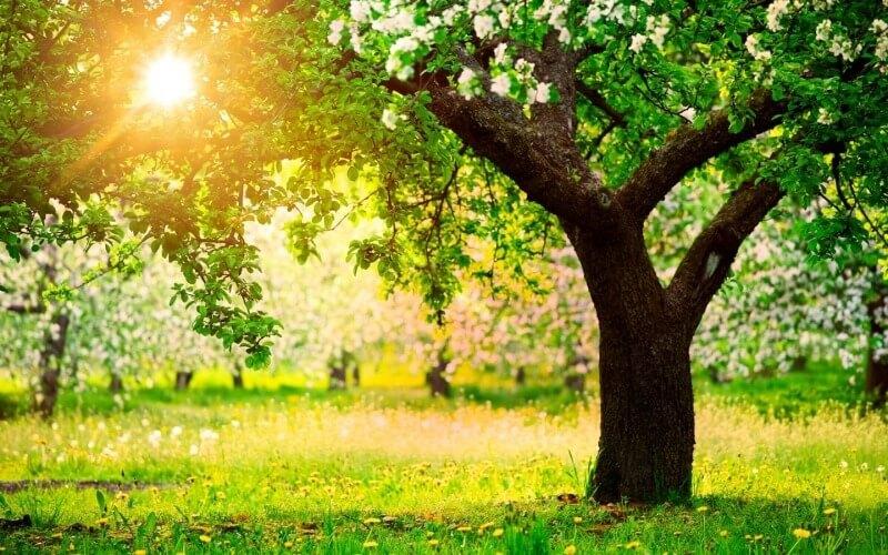 Дерево покровитель Каштан